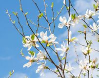 Inflorescence a beautiful white flower of Magnolia. Kobus on the branches of a tree against the clear blue sky in sunlight stock photo