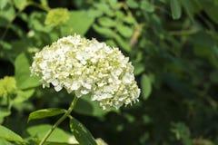 Inflorescence blanche d'hortensia lisse photographie stock libre de droits