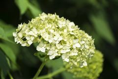 Inflorescence blanche d'hortensia lisse photographie stock