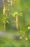 Inflorescence of blossoming birch. Closeup on a green background stock photo