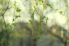 Birch Tree Blossoms. Spring background with branch of birch catkins. Inflorescence of blossoming birch closeup on a spring day. Beginning of new life. Birch royalty free stock images