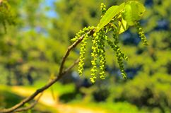 Inflorescence of blossoming of a tree birch closeup. Inflorescence of blossoming birch closeup on a spring day stock images
