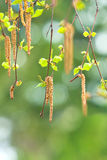 Inflorescence of blossoming birch. Closeup royalty free stock photos
