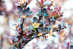 Inflorescence of  blue and burgundy leaves of berry barberry Royalty Free Stock Image