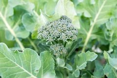 Inflorescence of cabbage broccoli in leaves in the vegetable garden, close-up. Summer landscape. Inflorescence of cabbage broccoli in leaves in the vegetable stock image