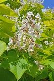 Inflorescence of a catalpa common Catalpa bignonioides Walter.  Stock Photo