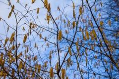 Inflorescence-chatons jaunes d'aulne au printemps Photographie stock libre de droits
