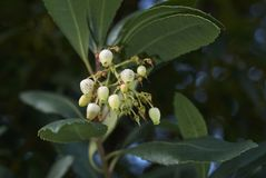 Arbutus unedo shrub. Inflorescence close up of Arbutus unedo shrub Stock Images