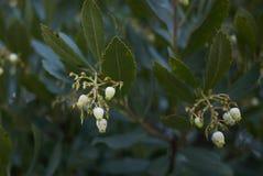 Arbutus unedo shrub. Inflorescence close up of Arbutus unedo shrub Stock Photos