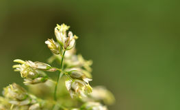 Inflorescence. Close-up dirt grass on a blurred green background small spider web between the blades Stock Image