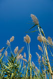 Inflorescence cortaderia against the sky Stock Image