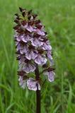 Inflorescence d'orchidée repérée Images libres de droits