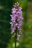 Inflorescence Dactylorhiza maculata, Heath Spotted Orchid macro Royalty Free Stock Photo