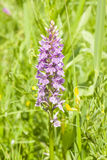 Inflorescence Dactylorhiza maculata, Heath Spotted Orchid macro, selective focus, shallow DOF Royalty Free Stock Photo