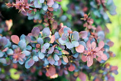 Inflorescence of dark blue and burgundy leaves of berry barberry Royalty Free Stock Image