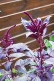 Inflorescence de cruentus d'amarantus d'amaranthe rouge Images stock