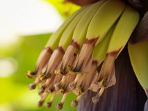 Inflorescence de floraison de coeur de banane Grand plan rapproché vert clair de lames Photographie stock