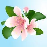 Inflorescence de floraison de cerise sur le fond bleu Fleurs de Sakura Illustration de Vecteur