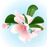 Inflorescence de floraison de cerise sur le fond bleu Fleurs de Sakura illustration stock