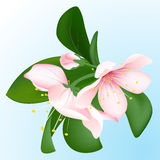 Inflorescence de floraison de cerise sur le fond bleu Fleurs de Sakura Illustration Libre de Droits