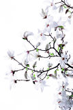 Inflorescence de la magnolia blanche Photos libres de droits