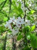Inflorescence de prune de mirabelle image stock