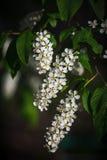 Inflorescence de trois blancs d'une cerise d'oiseau Photographie stock