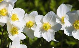 Inflorescence des fleurs blanches dans le parterre, usine de nature Image stock