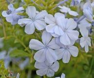 Inflorescence des fleurs pâles, tendres, bleues avec cinq pétales Photo libre de droits