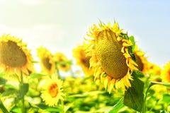 Inflorescence des tournesols au soleil Photos stock
