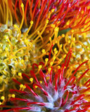 Protea flower details. Inflorescence details of protea flowers, evocative of coral, spiderlegs and spermatozoa, found in a tropical flower arrangement Royalty Free Stock Images