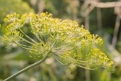 Inflorescence of Dill Royalty Free Stock Photos