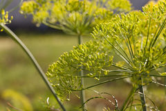 Inflorescence dill Horticultural Royalty Free Stock Images