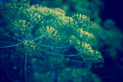 Inflorescence of Dill Retro Royalty Free Stock Image