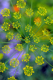 Inflorescence of dill Stock Photography