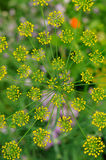Inflorescence of dill Royalty Free Stock Photography