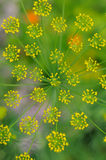 Inflorescence of dill Royalty Free Stock Image