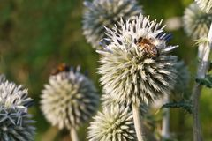 Inflorescence Echinops horizontal close up Royalty Free Stock Image