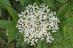 Inflorescence of elder black (Sambucus nigra L.). Top view Stock Image
