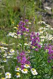 The inflorescence of fireweed and chamomile odorless in the meadow. Abundant flowering fireweed and daisies in the summer in Northern Siberia stock photos