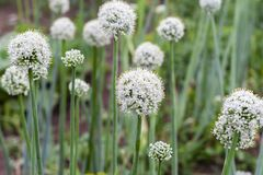 Inflorescence of flowering onions. stock photography