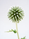 Inflorescence of a globe thistle Stock Photos