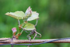 The inflorescence of grapes Royalty Free Stock Images