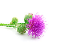 Inflorescence of Greater Burdock Stock Images
