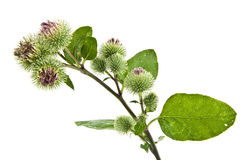 Inflorescence of Greater Burdock Royalty Free Stock Photography