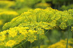 Inflorescence green fennel seeds Royalty Free Stock Photo