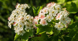 Inflorescence of hawthorn flowers Royalty Free Stock Photo