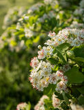 Inflorescence of hawthorn flowers Royalty Free Stock Photos