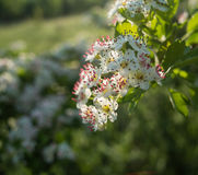 Inflorescence of hawthorn flowers Royalty Free Stock Photography