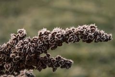 Inflorescence of horse sorrel Rumex confertus. In late autumn in the frost Stock Image